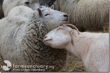 Farm-Sanctuary_Dorothy-and-Chico_web-res_CREDIT-Jean-Liebenberg_thumb